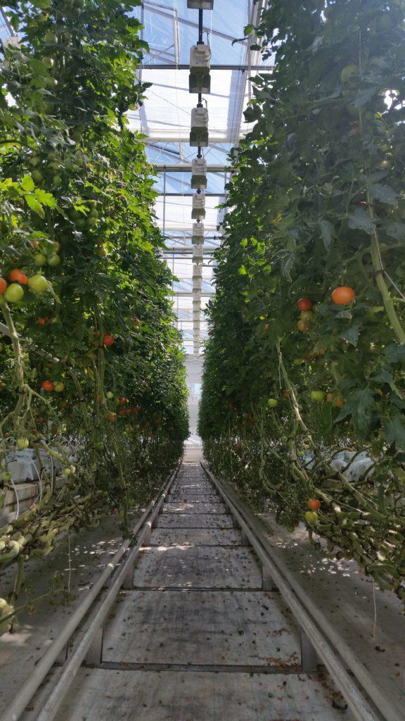 tomaattiviljelmä