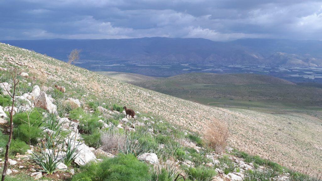 Jordanlaaksoa, vuoria ja lammas kiipeämässä rinnettä ylös